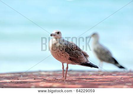 A Telephoto Of A Sea Gull, Bulgaria