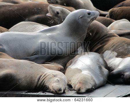 Sea Lions At Pier 39, San Francisco USA