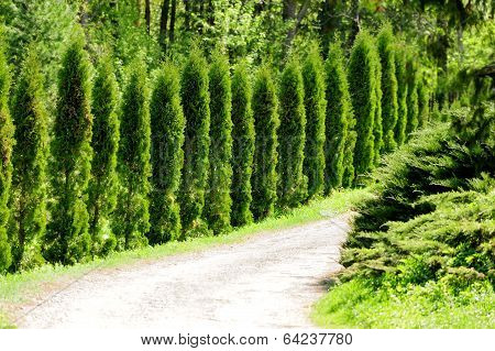 Thuja Alley