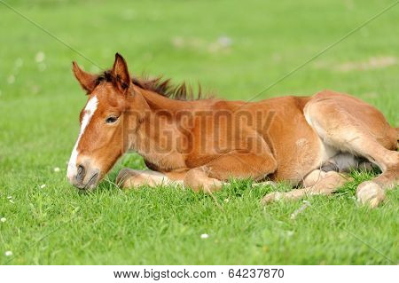 Colt On A Meadow