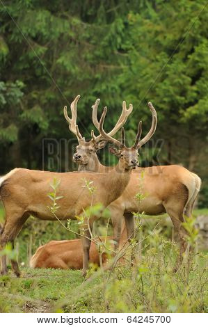 Wild Red Deer In Nature