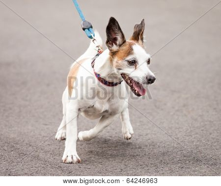 Excited Jack Russell and Chihuahua Cross Dog Going for a Walk