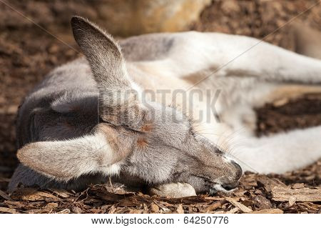 Grey Female Of The Red Kangaroo Species Sleeping On Wood Chips