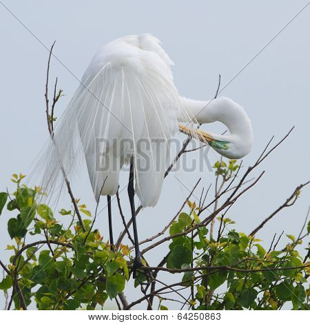 Great Egret Preening Its Feathers
