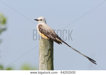 Male Scissor-tailed Flycatcher Perched On Fence Post - Texas