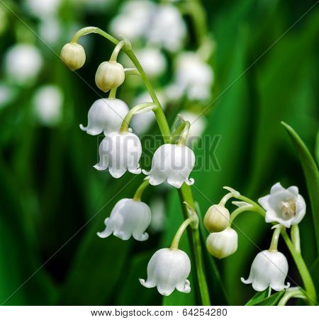 Beautiful Muguet On The Sun