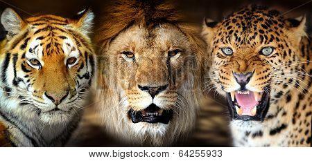 Tiger, Lion, Leorard