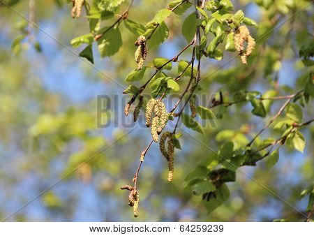 Pollen Aments On Birchtree In Spring