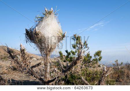 Processionary nest