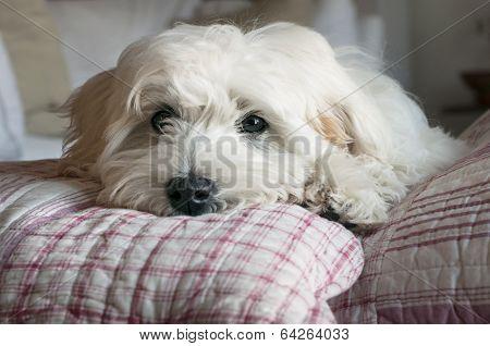 puppy dog resting