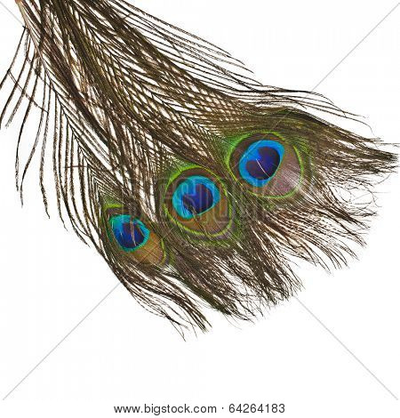 peacock feather plume isolated on white background close-up