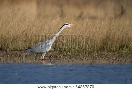 Grey heron walking in water
