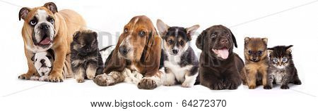 Basset Hound and corgi, labrador, dog,  pomeranian puppies