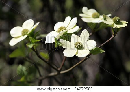 Pacific Dogwood in Bloom