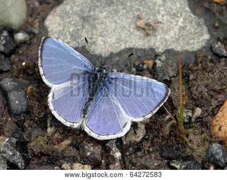 Echo Azure Butterfly with Wings Open