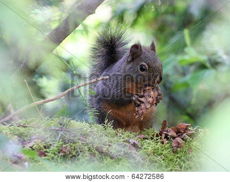 Douglas Squirrel with a Fir Cone