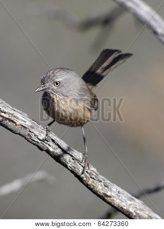 Wrentit on a Branch