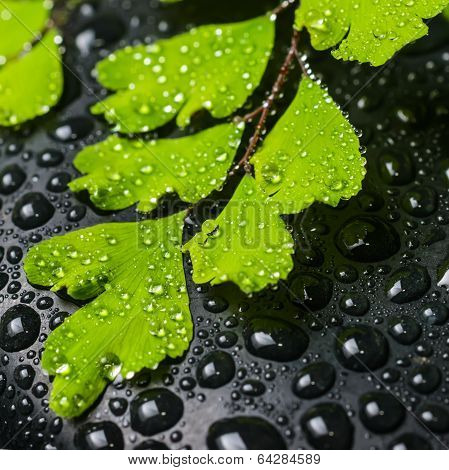 Spa Concept Of Beautiful Green Branch Of Maidenhair And Zen Stones With Drops, Closeup