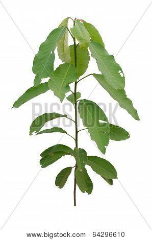 Croton oblongifolius Roxb.