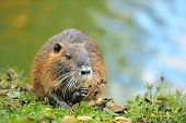stock photo of muskrat  - The muskrat  - JPG