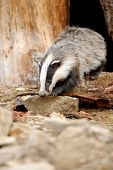 stock photo of badger  - Badger near its burrow in the forest - JPG