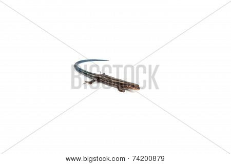 Blue-tailed Salamander
