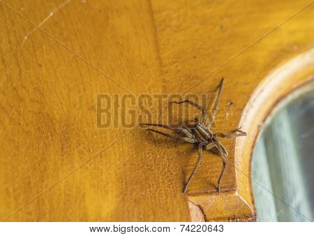 wolf spider on a door
