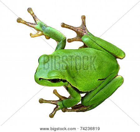 Tree Frog Hyla Arborea On A White