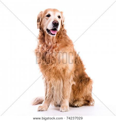Beautiful dog sitting down - isolated over a white background
