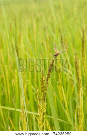 Dragonfly on rice