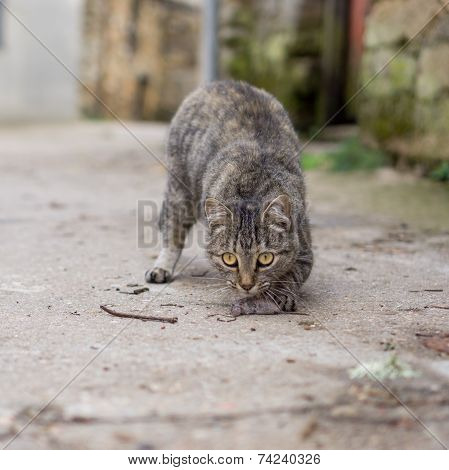 Stray cat just hunted a mouse