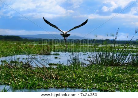 Yellow Billed Stork Up In The Sky