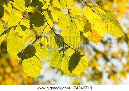 Autumn Leaves On Tree In Sun Beams