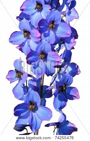 Isolated Delphinium Flower