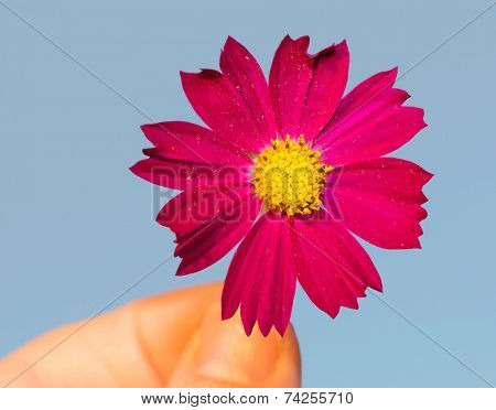 Magenta flower held by fingertips, on blue background