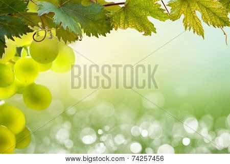 Bunch of green grapes on grapevine in vineyard.