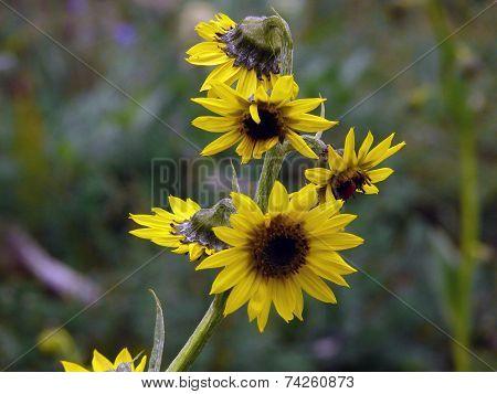 Cremanthodium Ellisi, The Himalayan Mini Sunflower