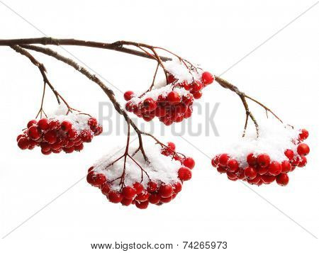 Rowanberry twig  in snow on white background