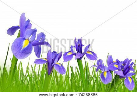 Iris flowers with dewy green grass