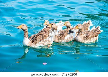 Beautiful Waterfowl Geese In Pure Water