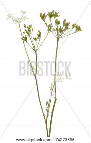 Plant Cumin