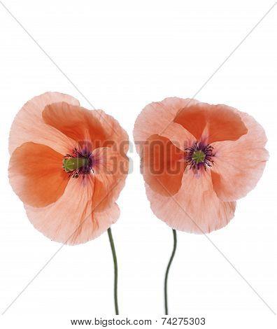 Two Poppy