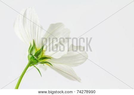 White Cosmos Close Up