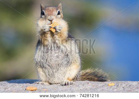 Chipmunk With A Cracker