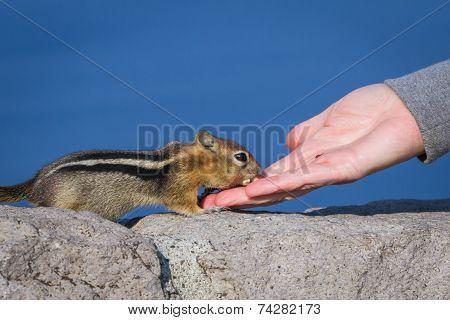 Hand Feeding A Chipmunk