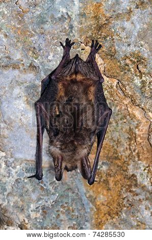 The Greater Mouse-eared Bat (myotis Myotis)