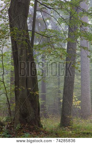 Old Oaks In Autumnal Misty Forest