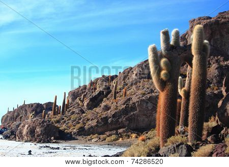 the cacti on the Isla Incahuasi
