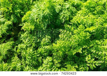Fresh Leaves Of Wild Carrot Plants