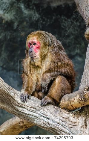 Stump-tailed Macaque (macaca Arctoides) On The Tree